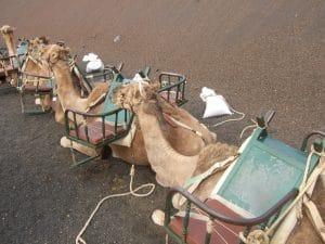 Lanzarote destino de viajes single con camellos